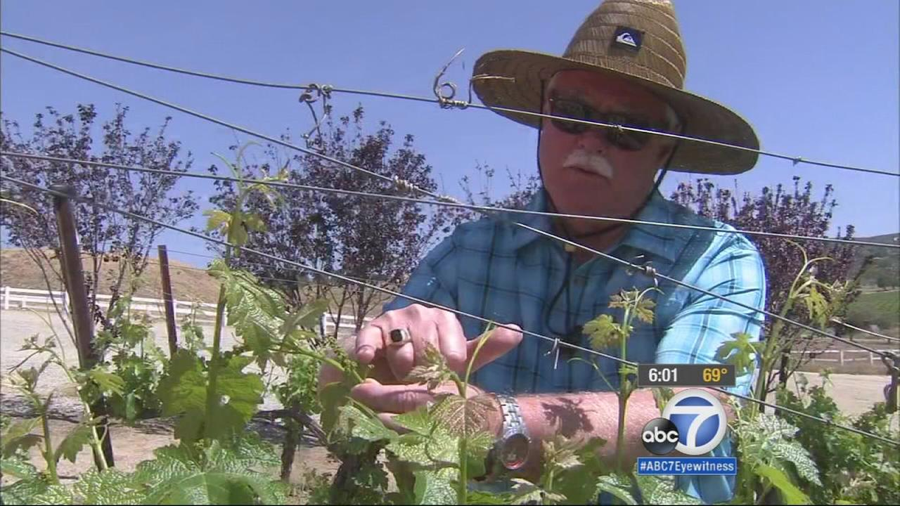 A local vineyard owner says may have to ignore Gov. Jerry Browns mandatory water restriction order.