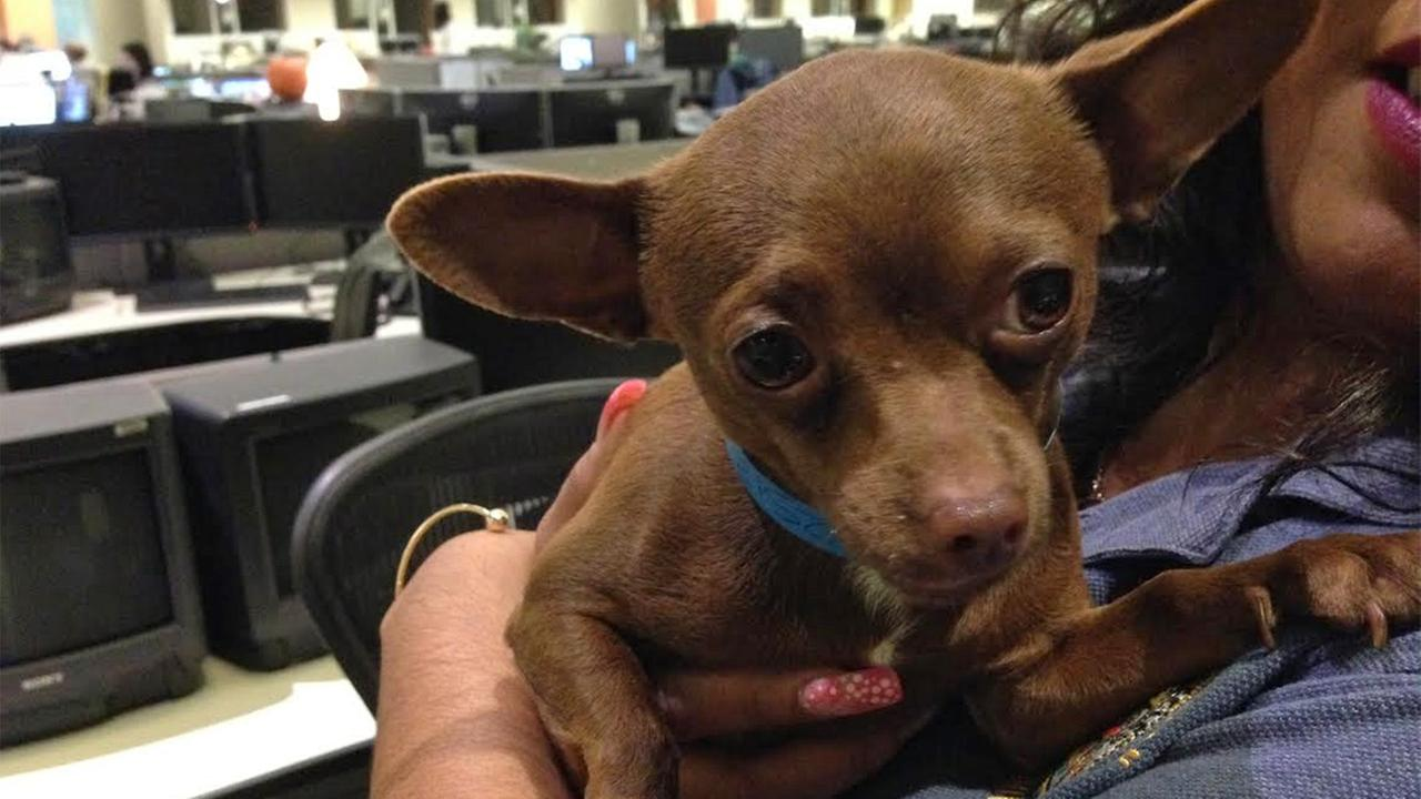 Our Pet of the Week on Tuesday, April 7, is a 3-year-old male chihuahua named Bernie. Please give him a good home!