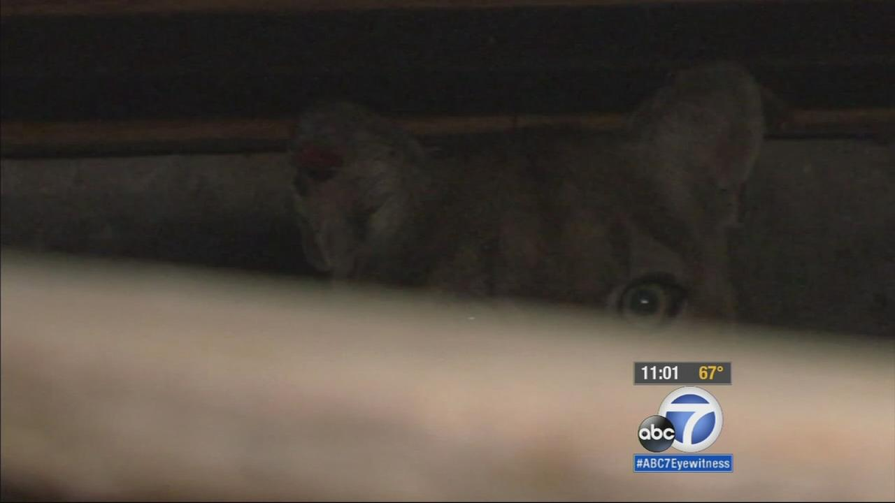 A mountain lion, known as P-22, was seen in the crawlspace of a Los Feliz home on Monday, April 13, 2015.