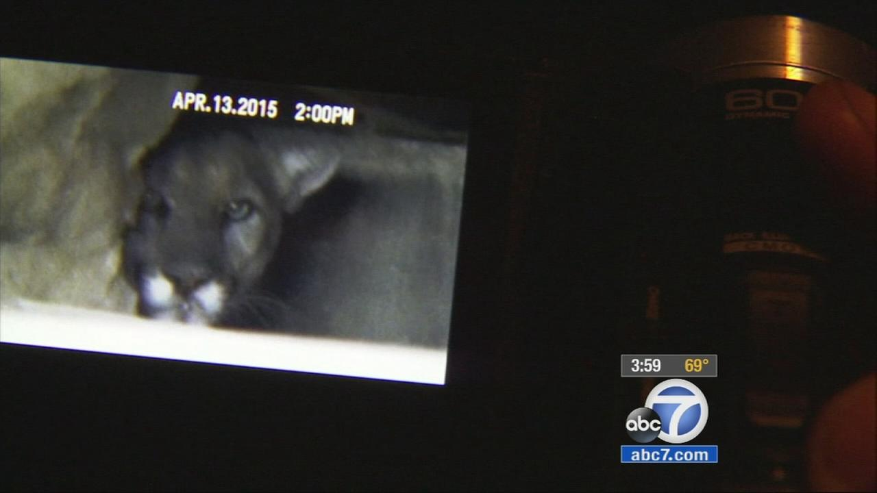 A mountain lion, known as P-22, has quietly slipped out from under a Los Feliz home after spending hours lounging in the crawl space.