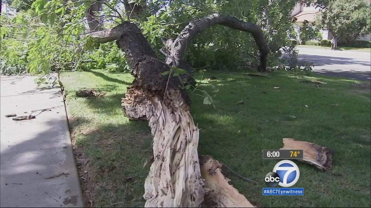 A tree in Riverside falls after strong winds blew across the Southland, Wednesday, April 15, 2015.