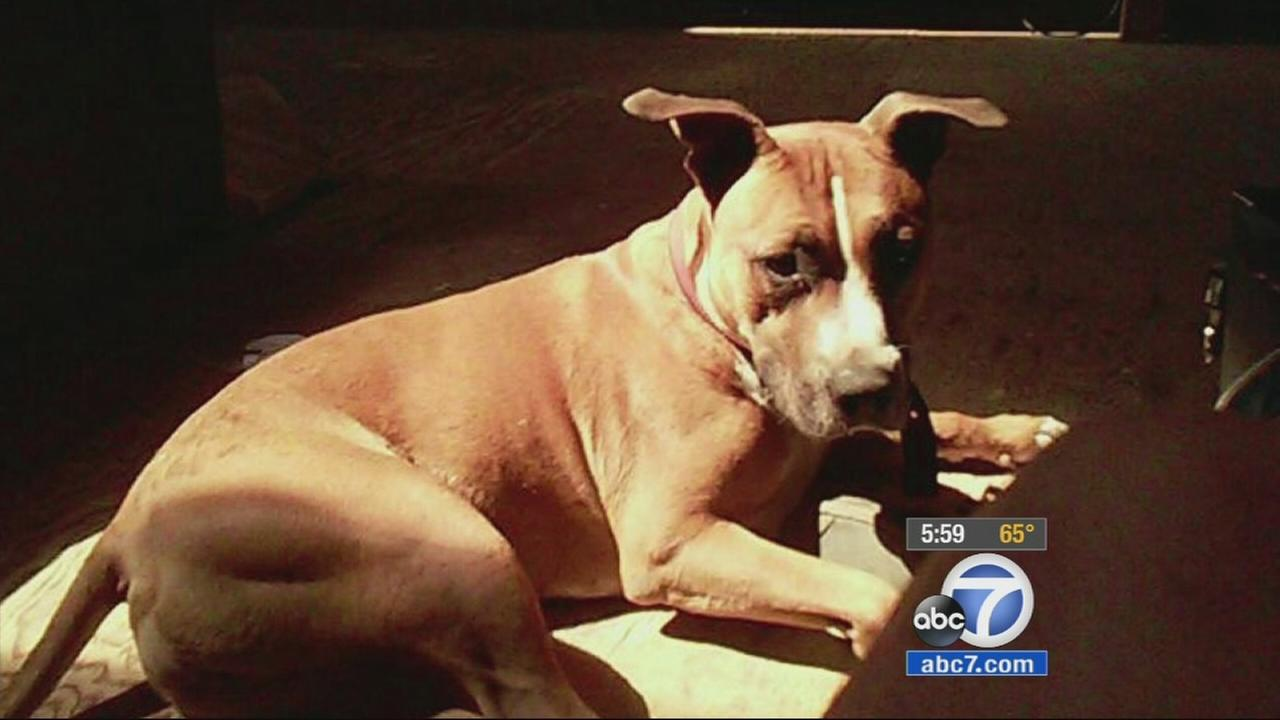 Bowser the pit bull is shown in this undated file photo.