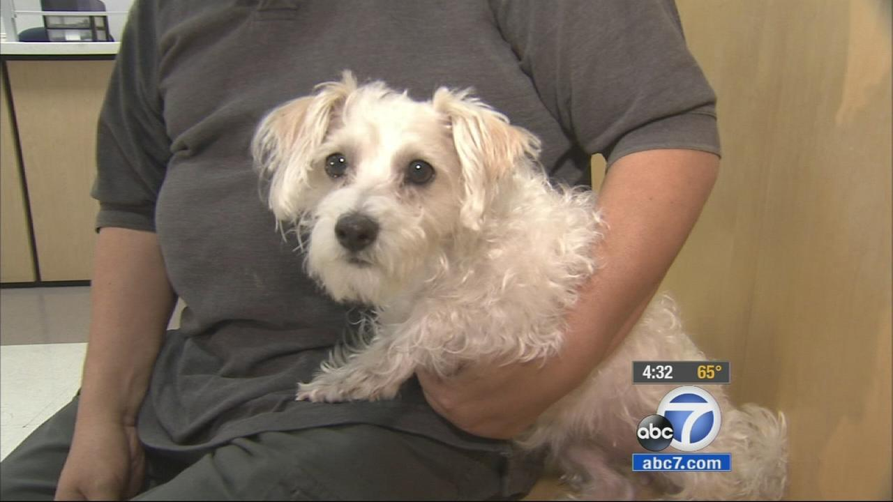 Fannie, the dog that was stolen from its Echo Park home, is shown in this undated file photo.