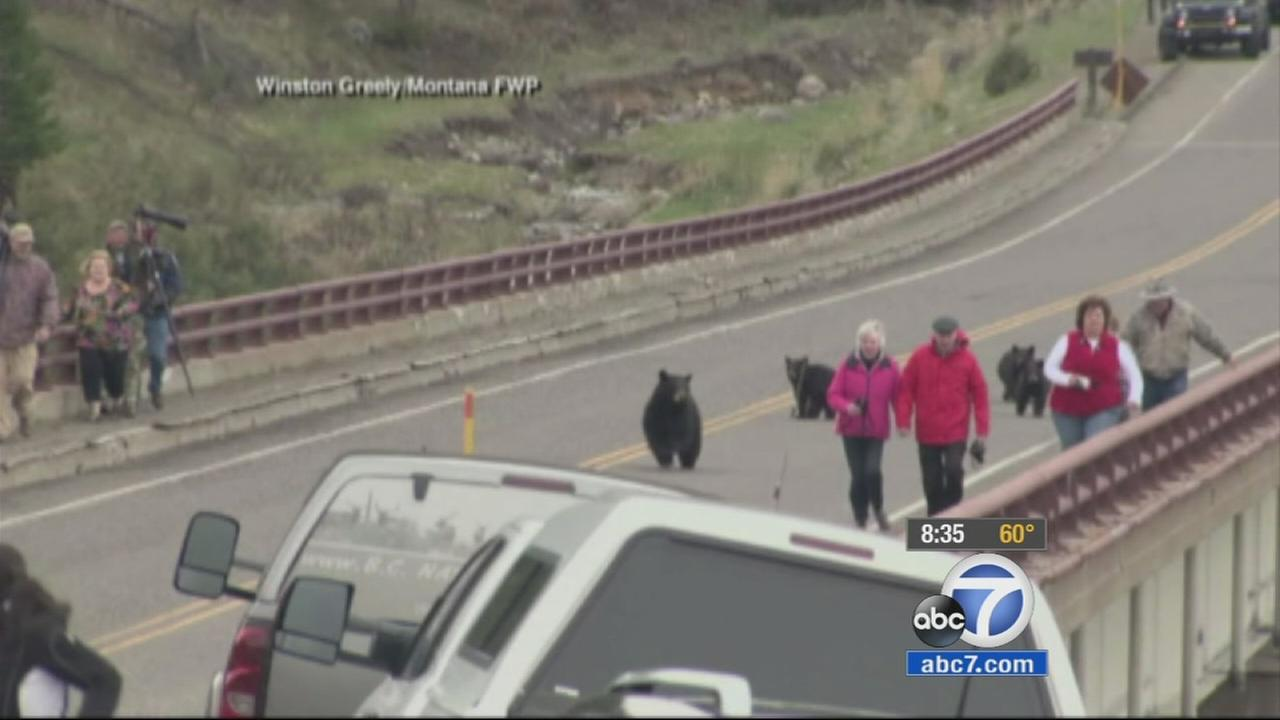 A mother black bear and her cubs chased some tourists on a bridge at Yellowstone National Park.