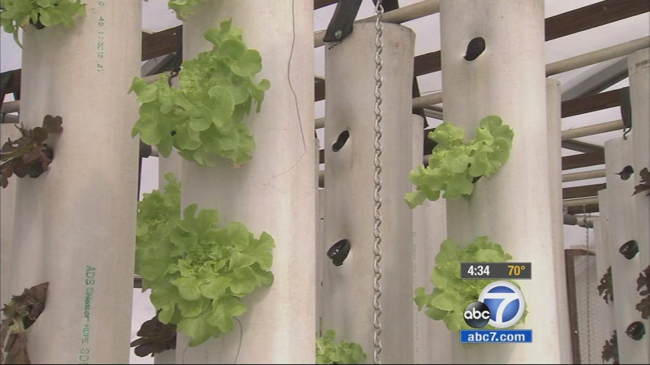 One farmer is using aquaponic farming as a way to save water in the drought and still grow a large amount of fruits and vegetables.