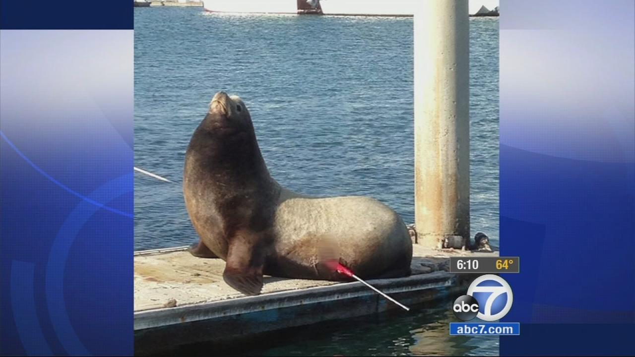 A sea lion was found speared off the coast of Ventura County, Saturday, May 23, 2015.
