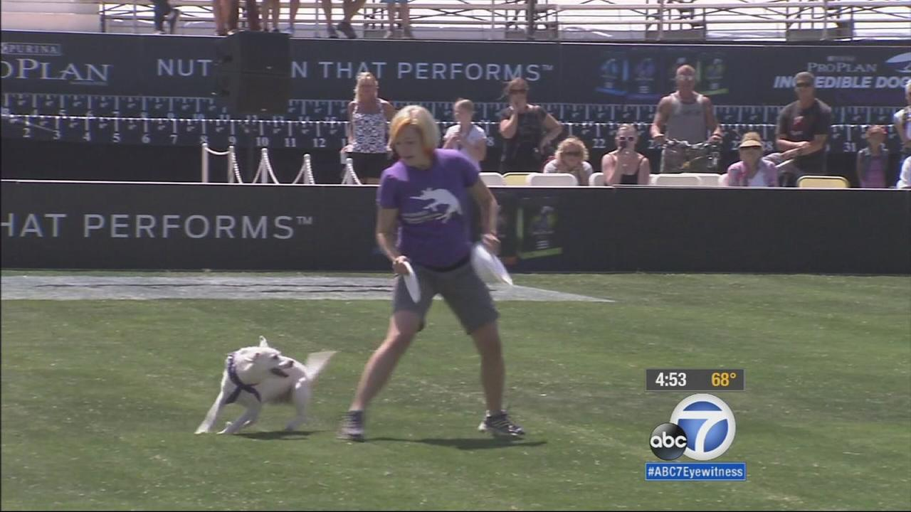 Dogs and owners compete in Olympic-style events to win top dog in the Purina Pro Plan Incredible Dog Challenge in Huntington Beach.
