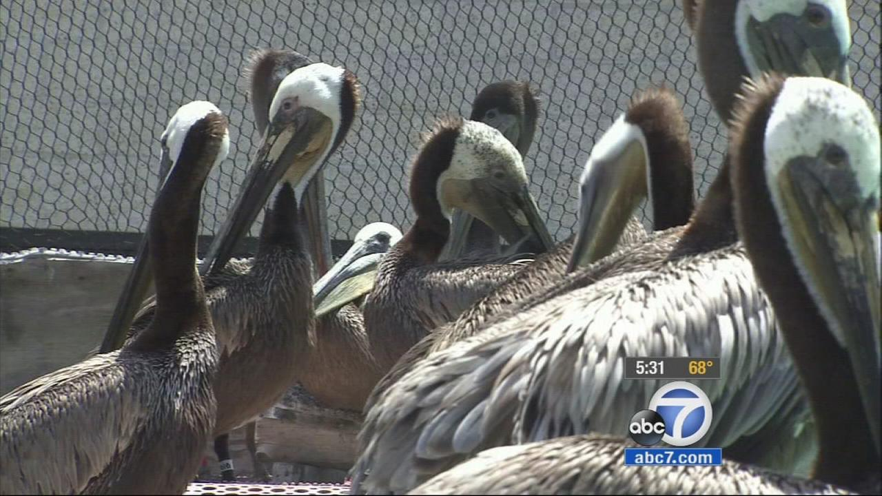 Dozens of birds covered in oil from the pipeline rupture at Refugio State Beach have been nursed backed to health and will soon be ready for release.