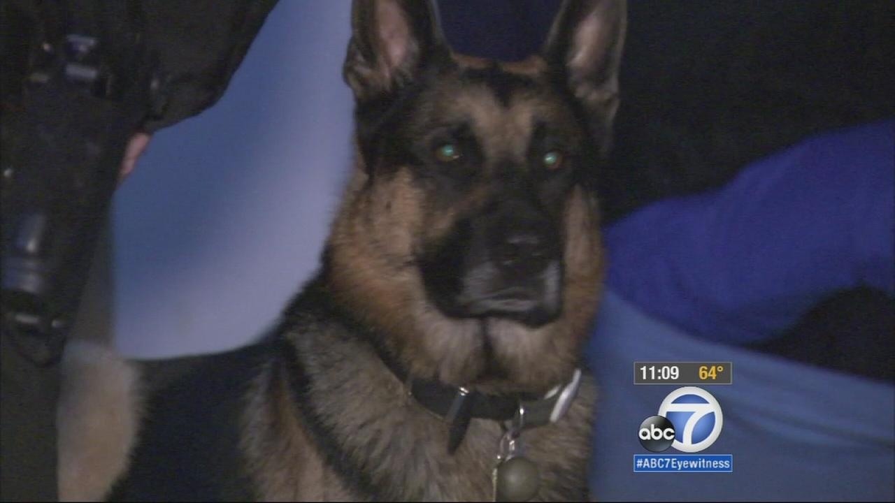 A 5-year-old K9 named Bear is recovering after being shot in his left hind leg early Tuesday morning in the backyard of his Hawthorn home by an unknown assailant.