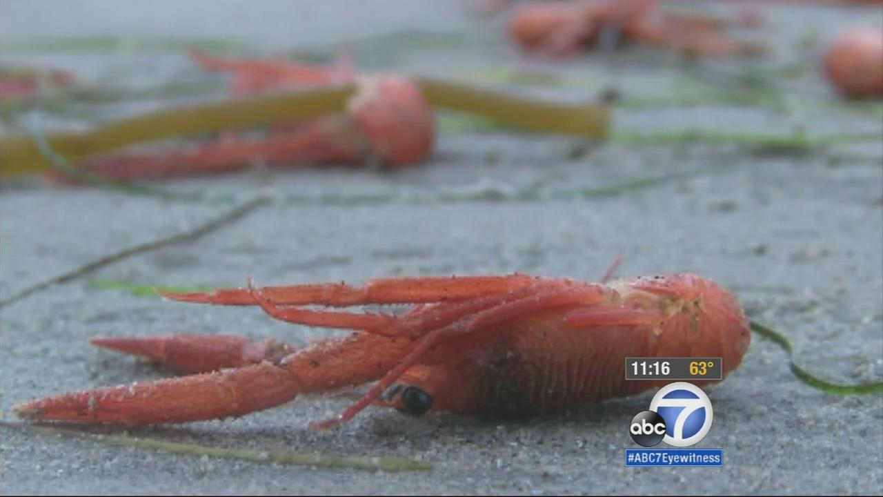 Thousands of red tuna crabs have washed ashore in Laguna Beach and Newport Beach, and lifeguards say El Nino conditions might have pushed the crabs up from their normal habitat on sandy ocean bottoms.