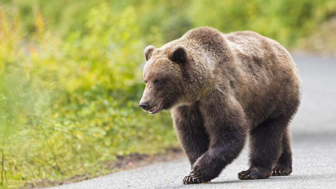 A grizzly bear is shown walking through a grassy area in an undated file photo.