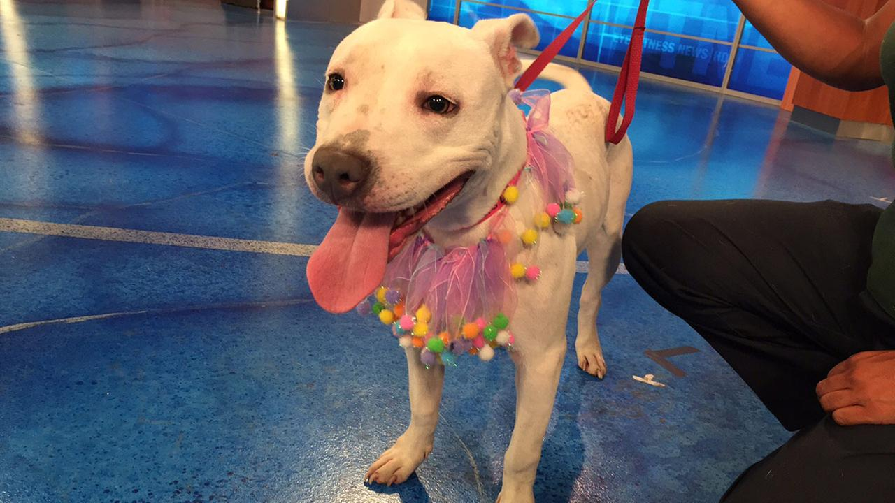 Our Pet of the Week on Tuesday, June 30, is a 1-year-old Staffordshire mix named Snowball. Please give her a good home!