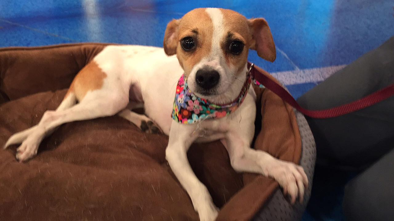 Our Pet of the Week on Tuesday, Aug. 11, is a 1-year-old Chihuahua mix named Katie.