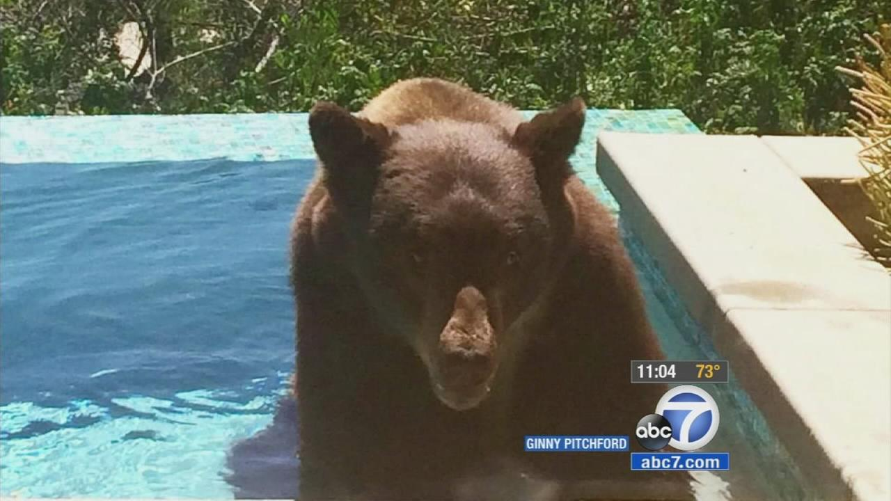 Residents across Southern California are trying to beat the heat, and that includes one bear caught enjoying a La Canada Flintridge pool.