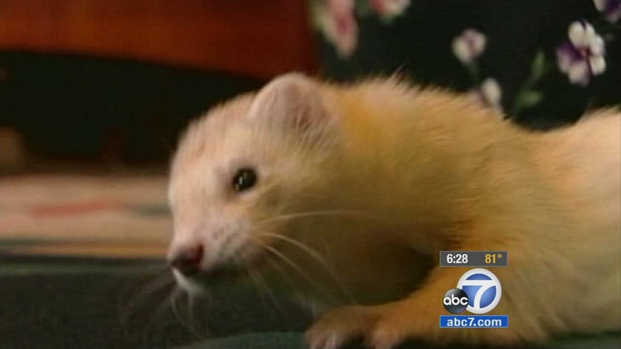 A ferret is shown in an undated image.