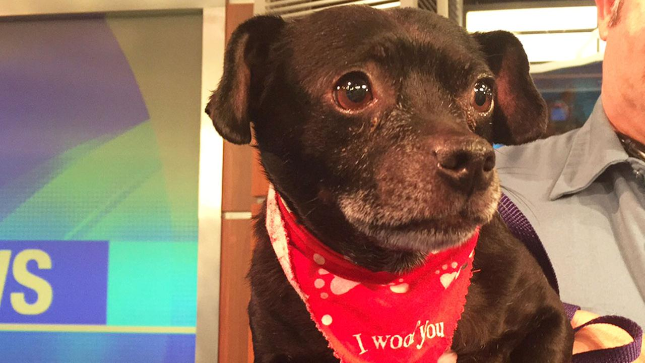 Our Pet of the Week on Wednesday, Aug. 19, is a 10-year-old Chihuahua mix named Ralph. Please give him a good home!
