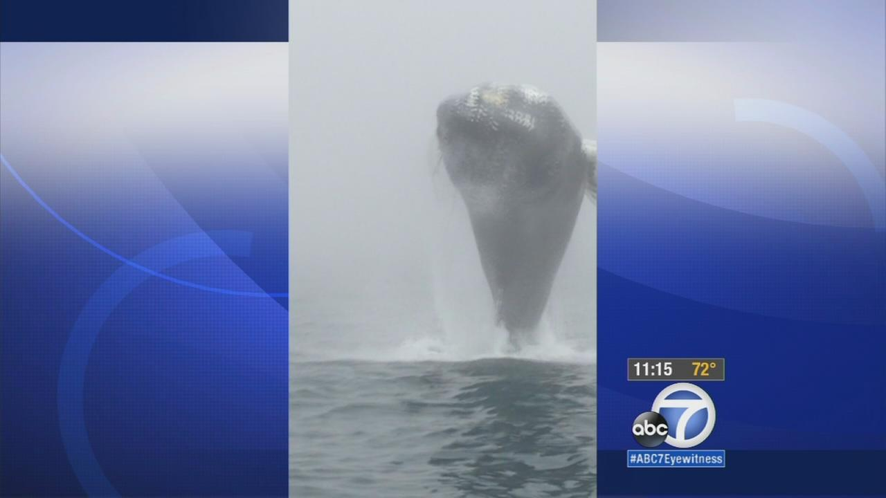Whale watchers got a once-in-a-lifetime experience off the coast of Nova Scotia, where they saw a humpback whale do a backflip straight toward their boat!
