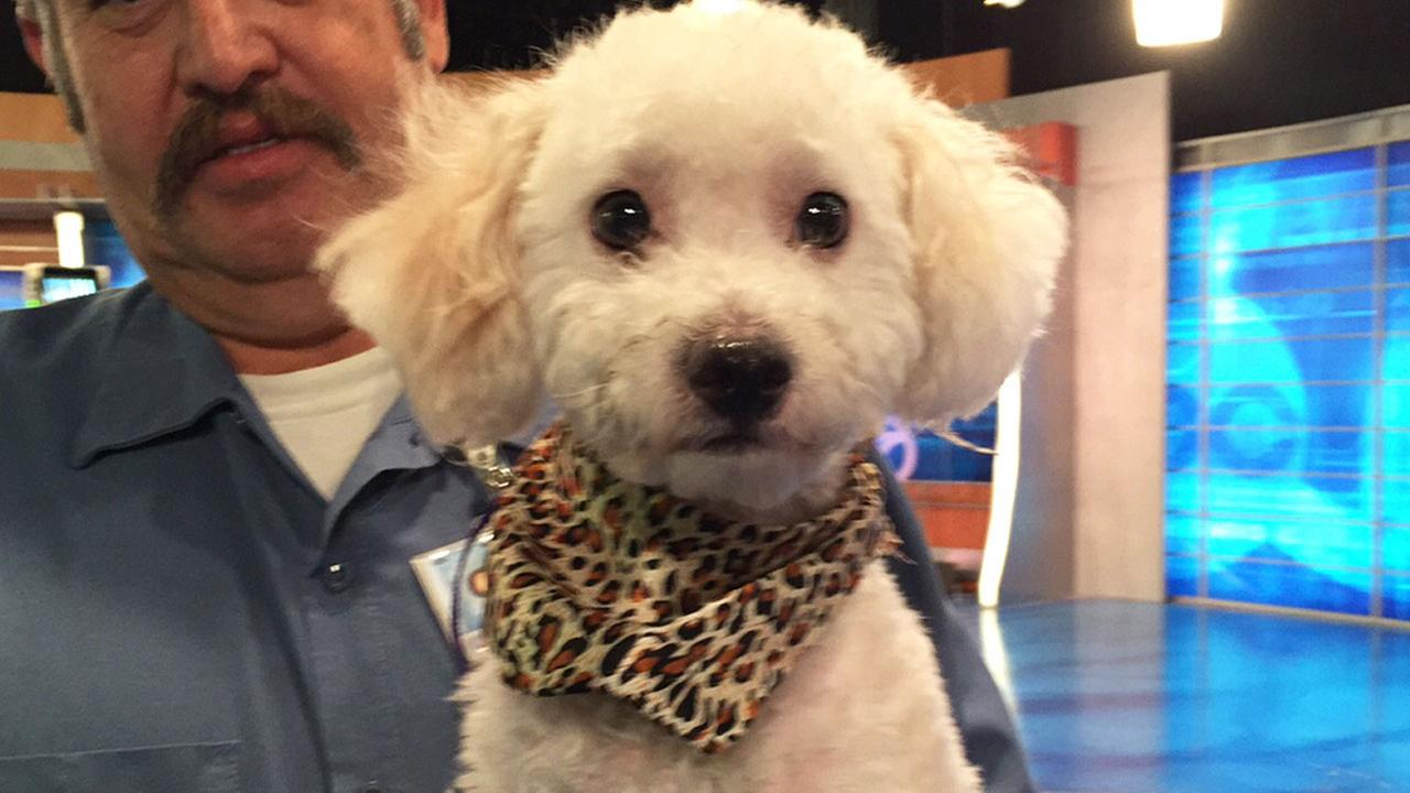 Our Pet of the Week on Tuesday, Aug. 25, is a 1-year-old poodle mix named Louie. Please give him a good home!