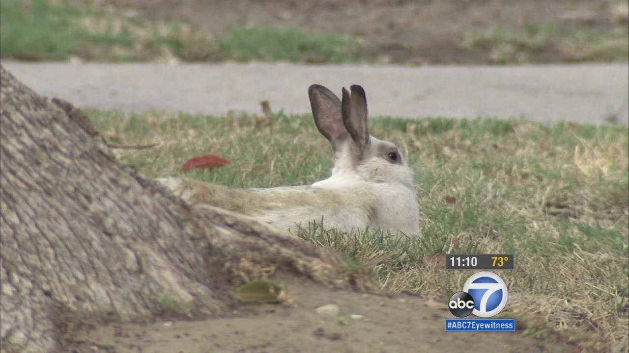 A Van Nuys neighborhood has been overrun with rabbits and now neighbors are complaining.