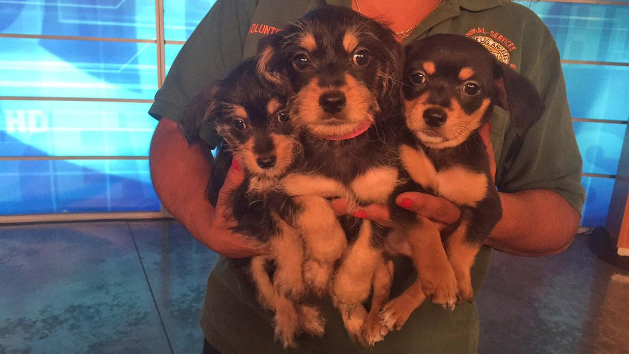 Our Pet of the Week segment on Tuesday, Sept. 1, featured three terrier mix puppies. Please help them find a home!