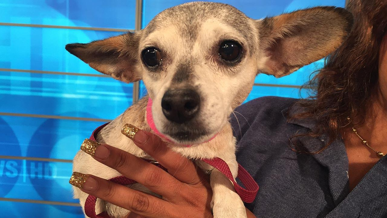 Our Pet of the Week on Tuesday, Sept. 22, is a 10-year-old female Chihuahua mix named Dalila. Please give her a good home!