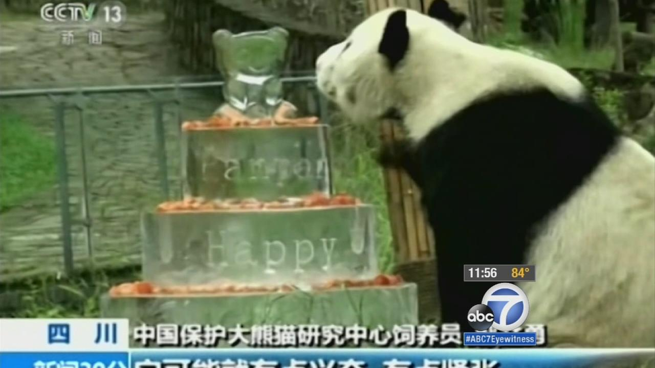 Pan Pan, the worlds oldest panda, enjoys his very own ice cake in Chinas Sichuan province on his birthday Tuesday, Sept. 22, 2015.