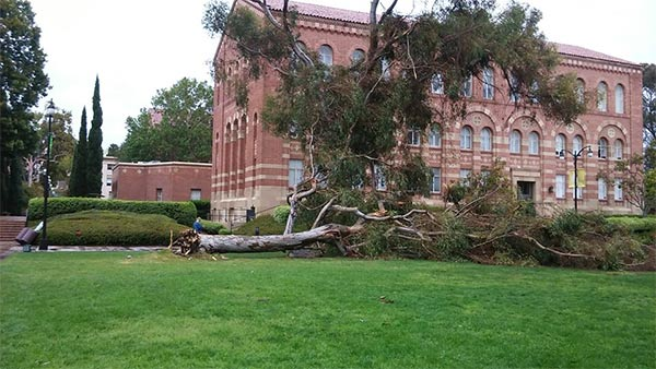 <div class='meta'><div class='origin-logo' data-origin='KABC'></div><span class='caption-text' data-credit='Twitter / James Zeruk'>ABC7 viewer James Zeruk shared this photo of a fallen tree on the UCLA campus on Monday, March 7, 2016.</span></div>