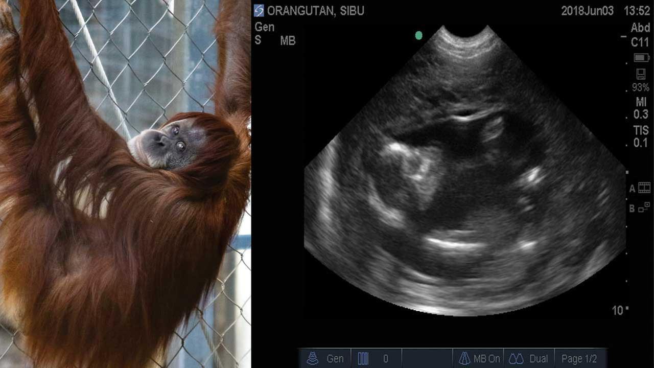 The Fresno Chaffee Zoo has announced that Siabu the gargantuan is pregnant!