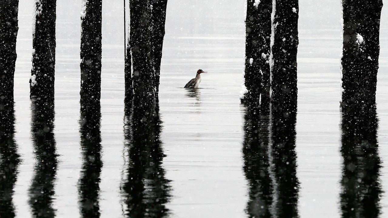Duck swims