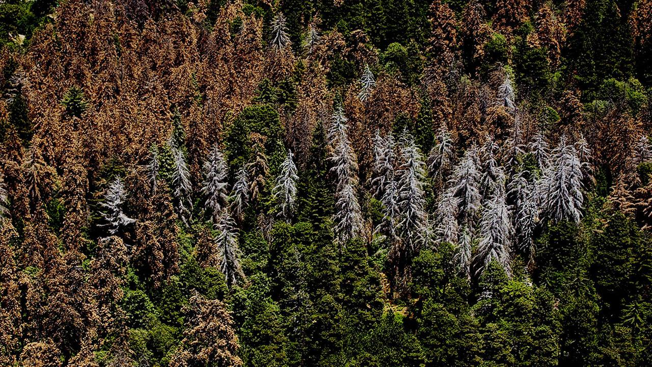 Hundreads of trees sit dead in the san bernardino national forest in