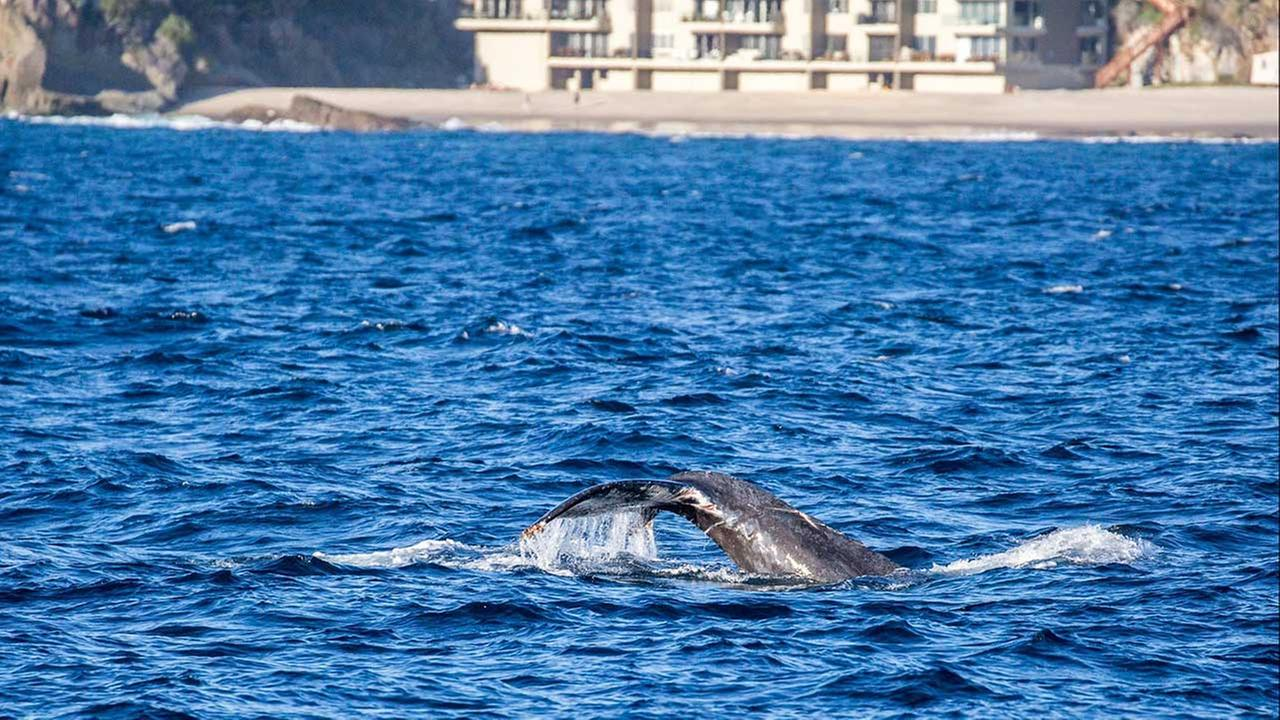 Friday, Oct. 30, 2015, photo courtesy of Facebook.com/Slater Moore Photography and newportwhales.com, shows an entangled humpback whale off the Southern California coast.