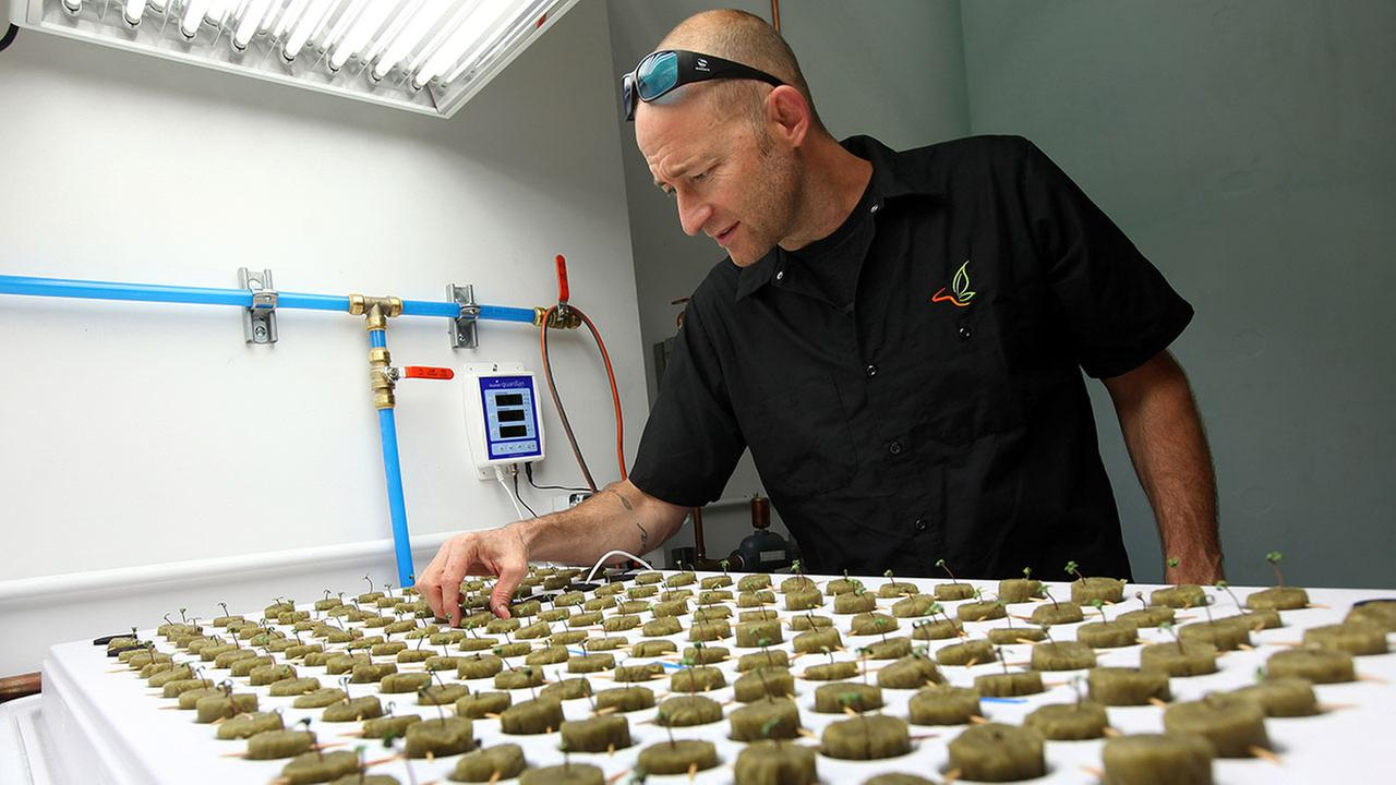FILE - In this Sept. 24, 2015, file photo, consultant Jonathan Hunt checks seedlings growing in the new marijuana growing facility on the Flandreau Santee Sioux Reservation