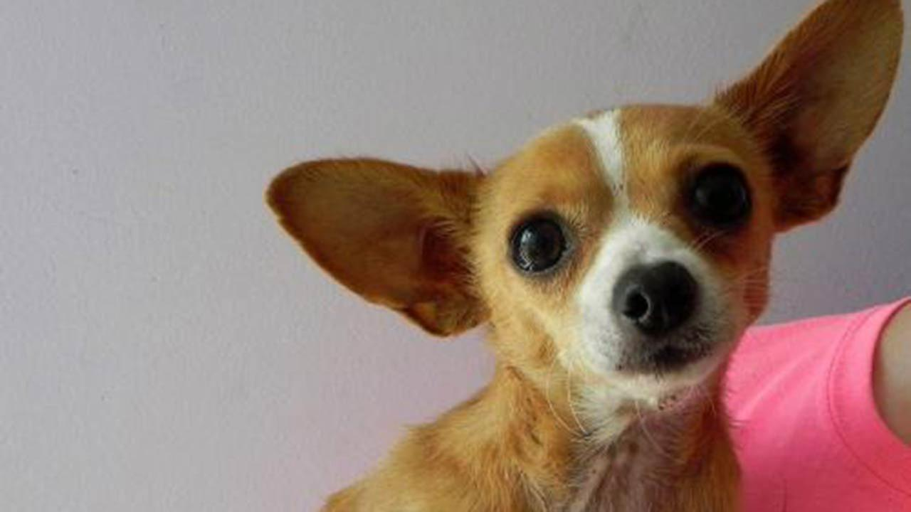 Treasure the 3-legged chihuahua