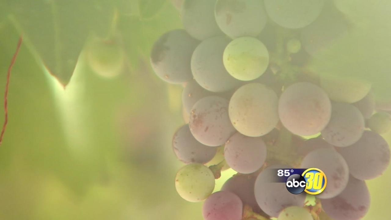 Smoke from wildfires could change taste of wines