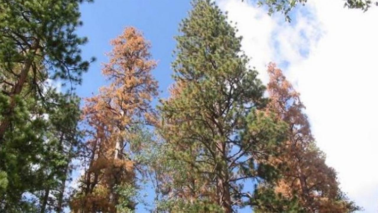 Record 129 million trees dead in California due to drought, bark beetle