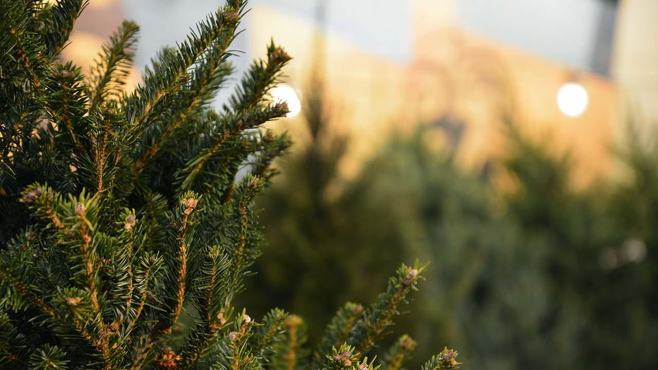 NZ fire service issues warning about highly flammable Christmas trees