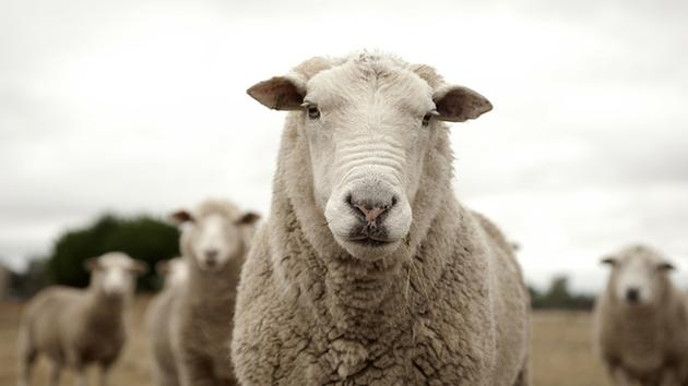 Fresno State student sexually assaults sheep, police say
