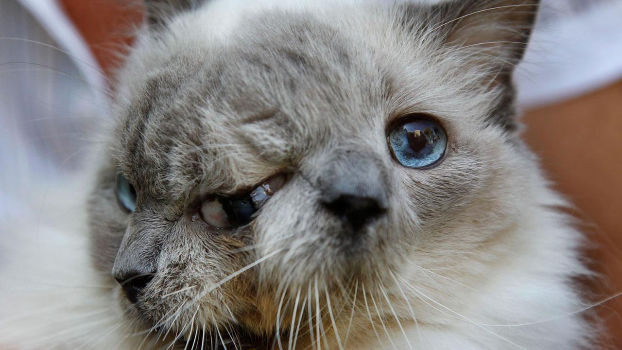 In this Wednesday, Sept. 28, 2011 photo, a cat with two faces, named Frank and Louie, one name for each face.