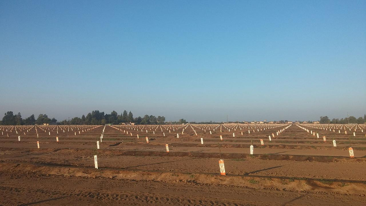 A recently planted almond farm west of downtown Fresno -- May 2014