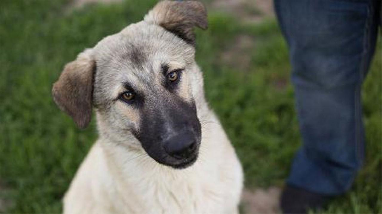 Gunner is a delightful young shepherd mix with an amazing personality.