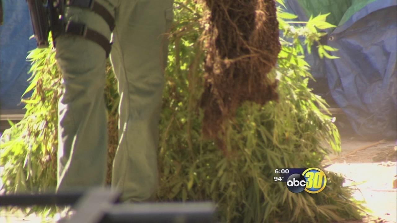 Fresno police find numerous marijuana grows near schools