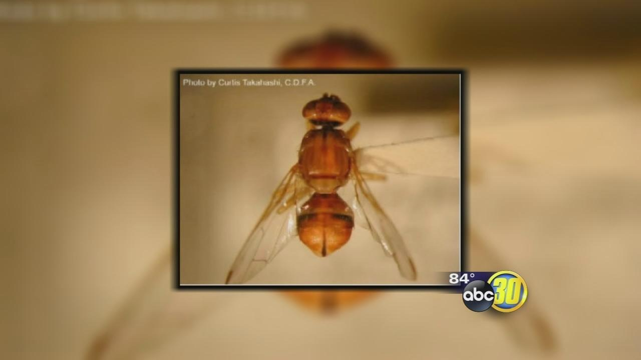 Peach fruit fly found in Fresno backyard