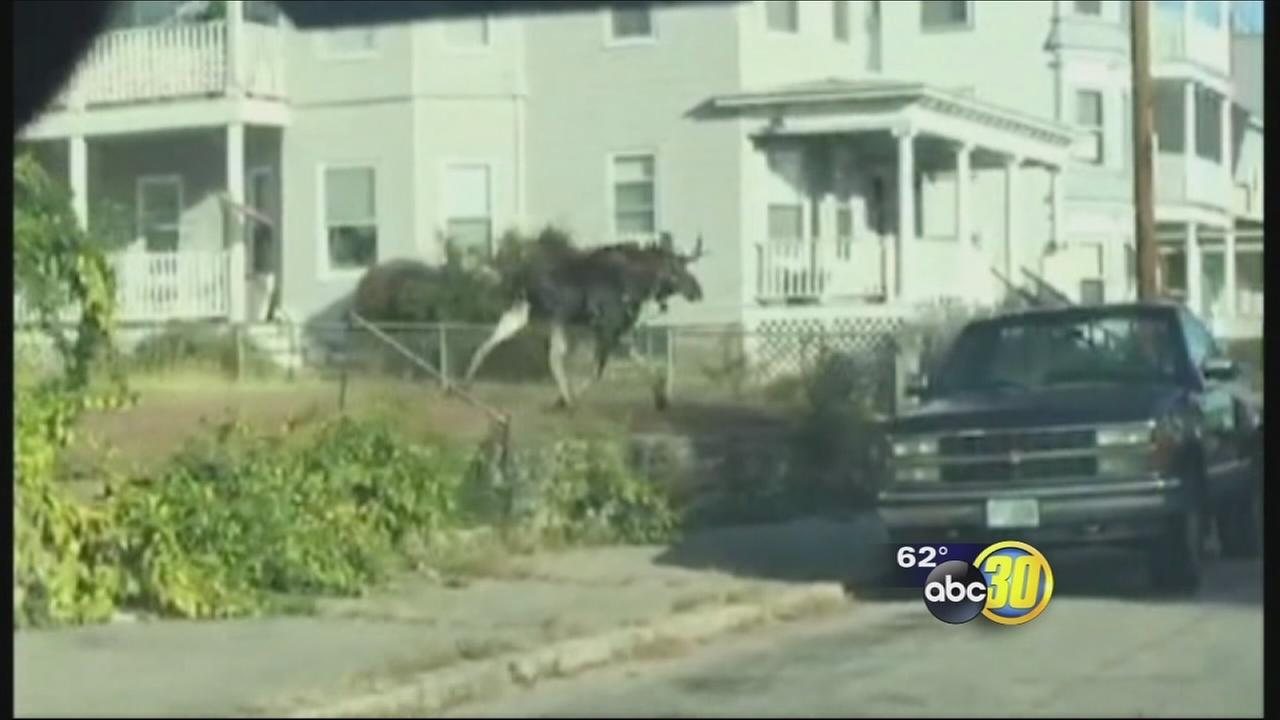 Police were in hot pursuit of a moose on the loose