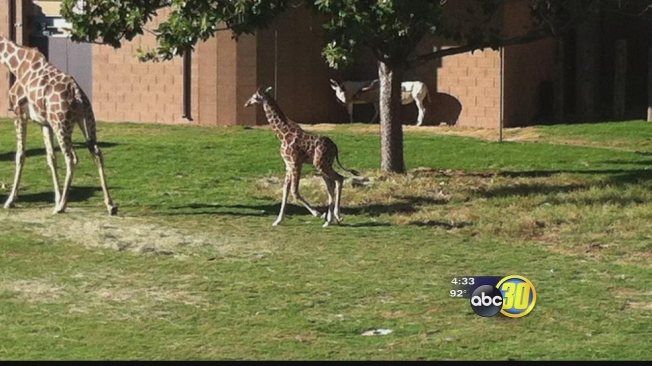 Chaffee Zoo reevaluating policies after baby giraffe death