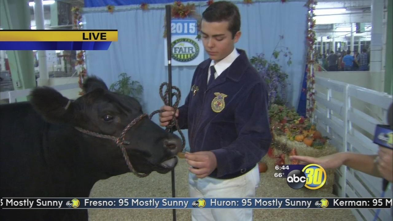 FFA students prep for livestock auction at the Big Fresno Fair