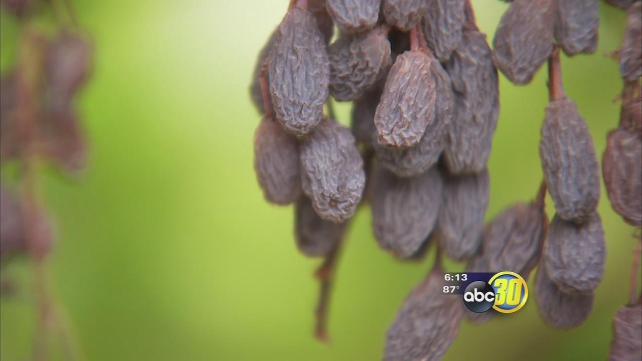 New raisin grape could change industry