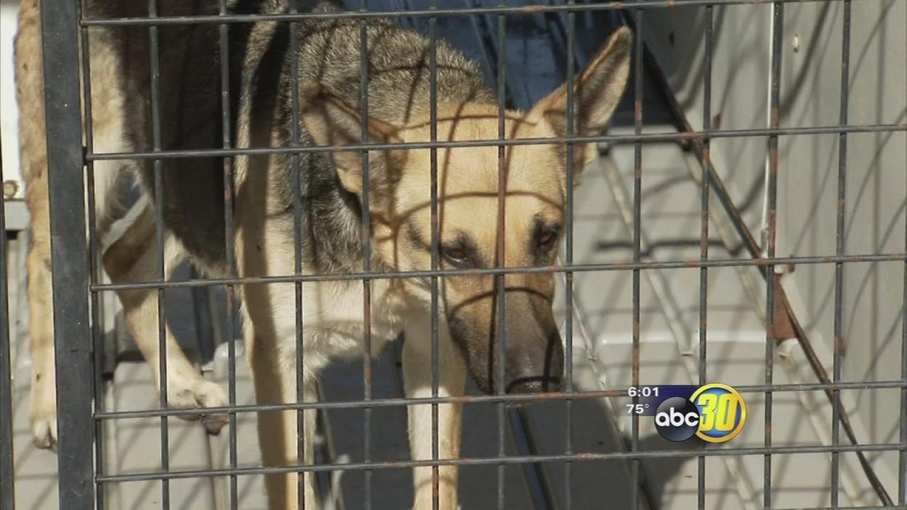 German sheperd awaiting its fate after attacking 8-year-old boy