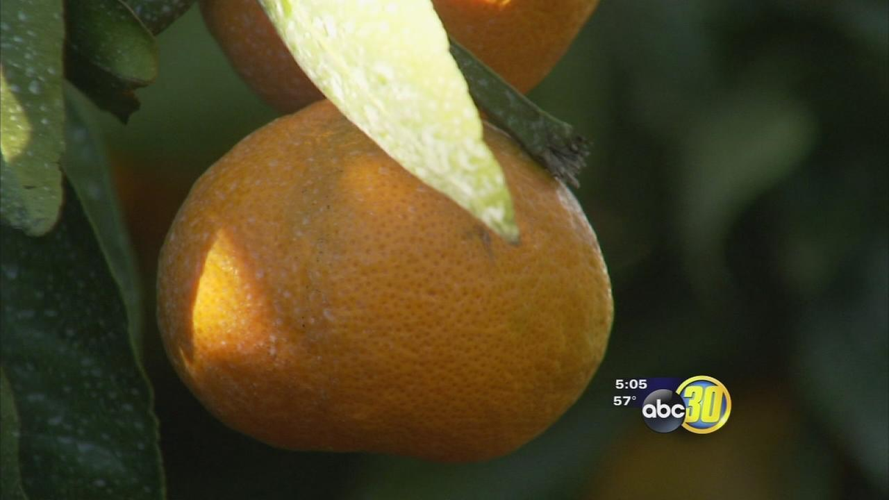 Citrus grower welcomes icy temps