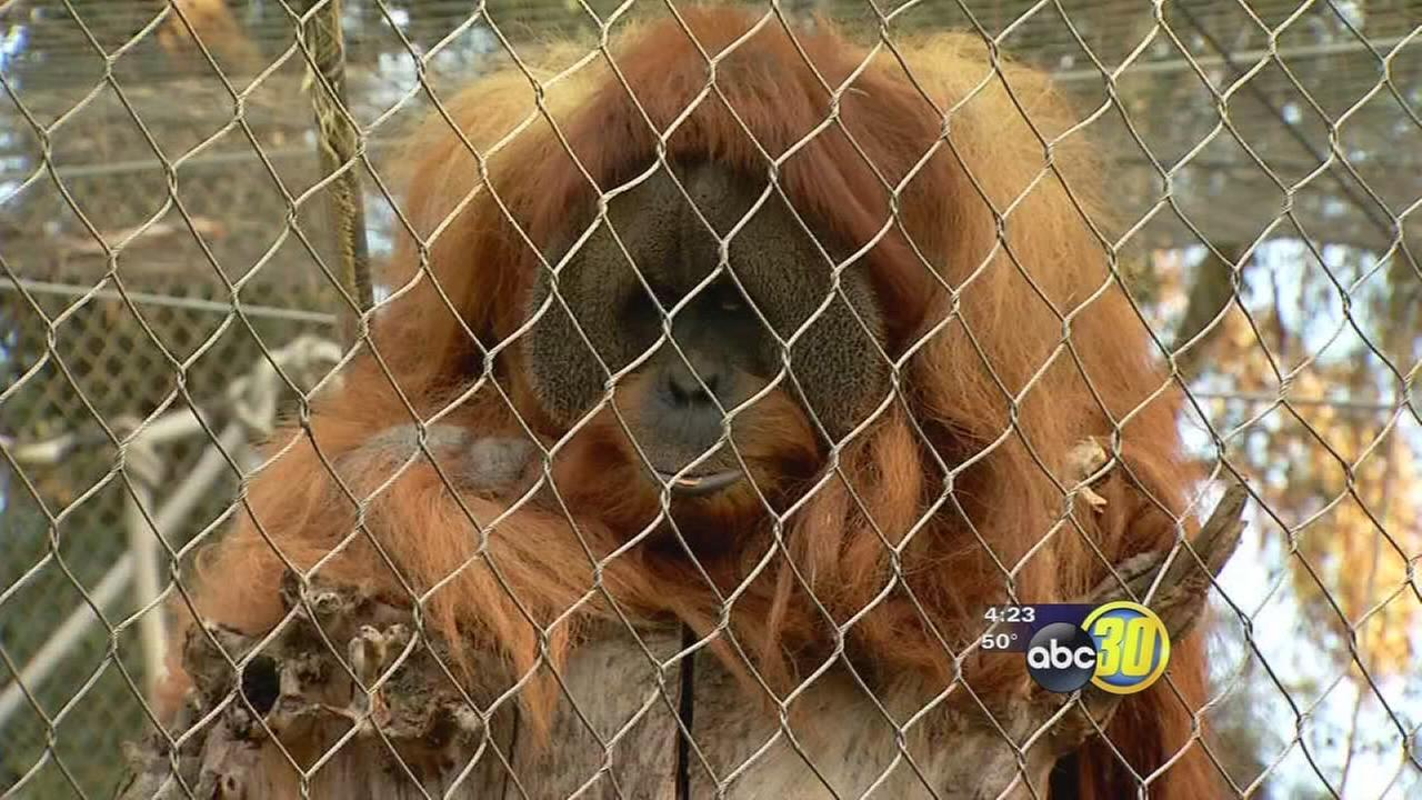 Orangutans at Fresnos Chaffee Zoo received a heart-warming gift for the holidays