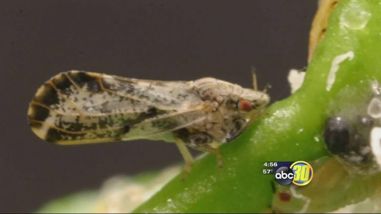 Citrus industry worries over spread of pest